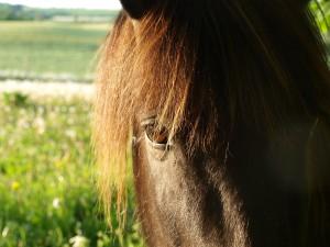 Firra fra Dalbae född 1997 på Island. Vackra Firra kom till oss 2011 och förgyller vår vardag